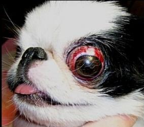 у ши тцу выпадают глаза фото