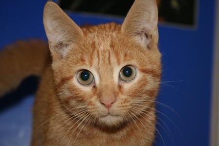 Токсоплазм у кота